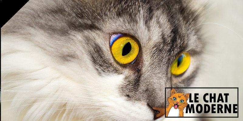 Cystite chez le chat : Que faire ?